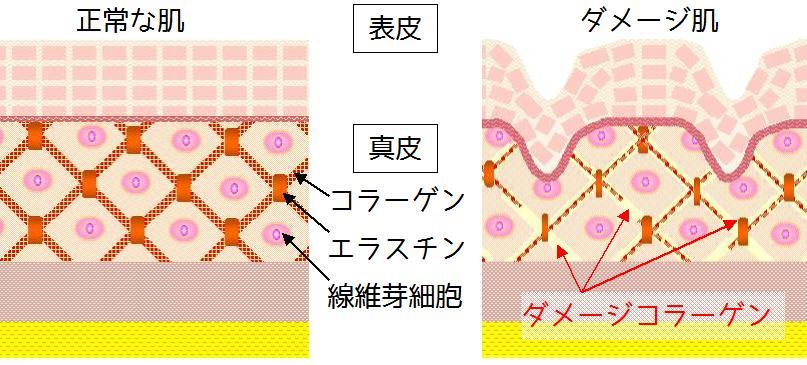 コラーゲンの構造